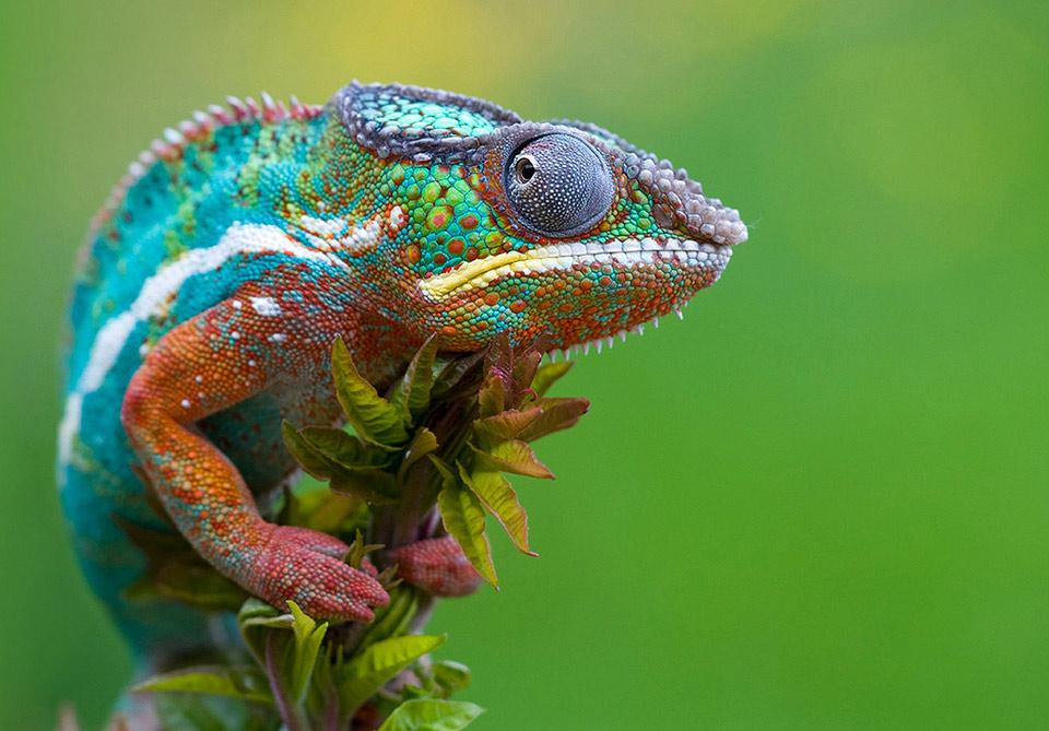 chameleon-picture4