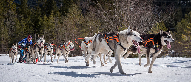 """Image credit: Ralf ???????'s """"Damon in front - Sled Dogs in Wallgau Bavaria"""""""